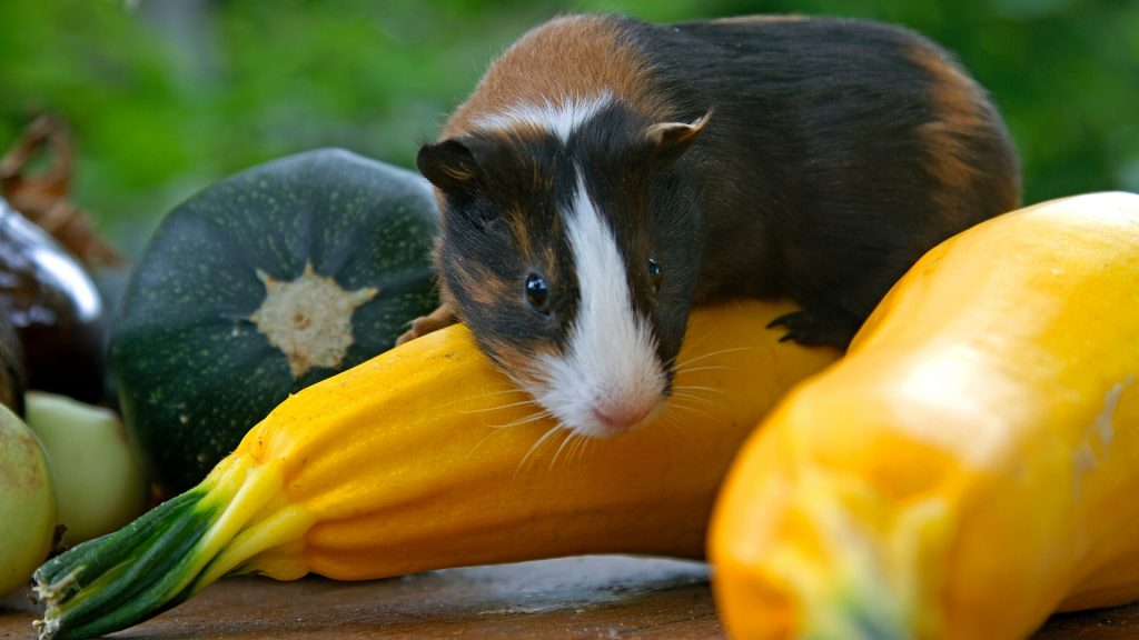 Can Guinea Pigs Eat Yellow Zucchini