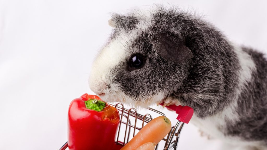Can Guinea Pigs Eat a Whole Red Pepper