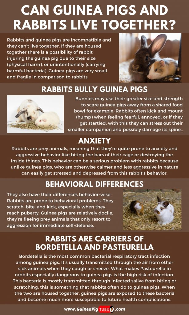 Can Guinea Pigs and Rabbits Live Together_1