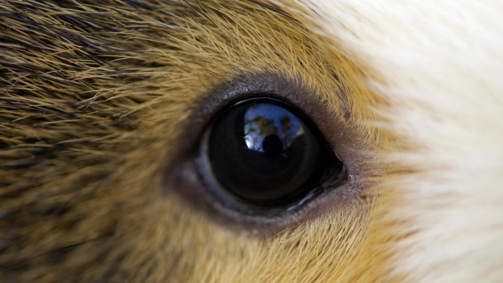 Do Guinea Pigs Have Good Vision