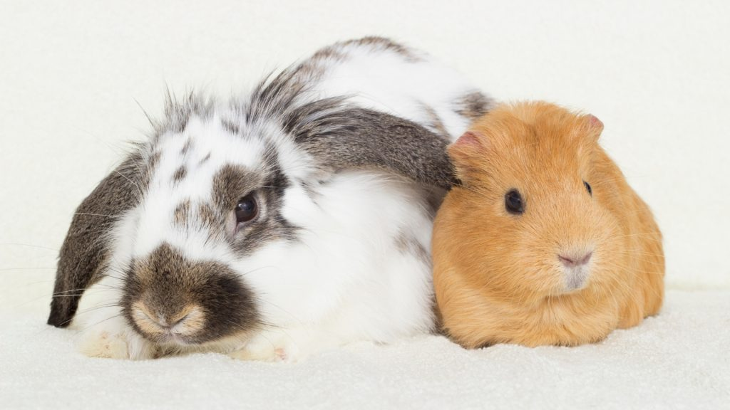 Guinea Pig and Rabbit Do Rabbits and Guinea Pigs Get Along
