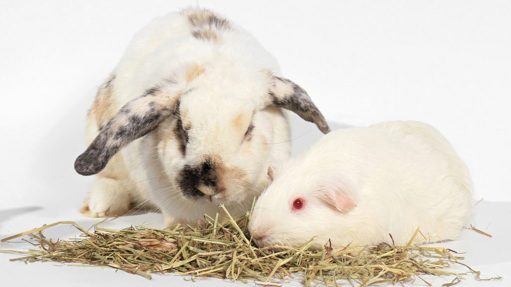 Guinea Pig vs Rabbit Which One to Choose as a Pet