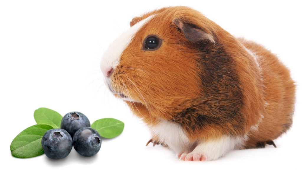 How Many Blueberries Can a Guinea Pig Eat a Day