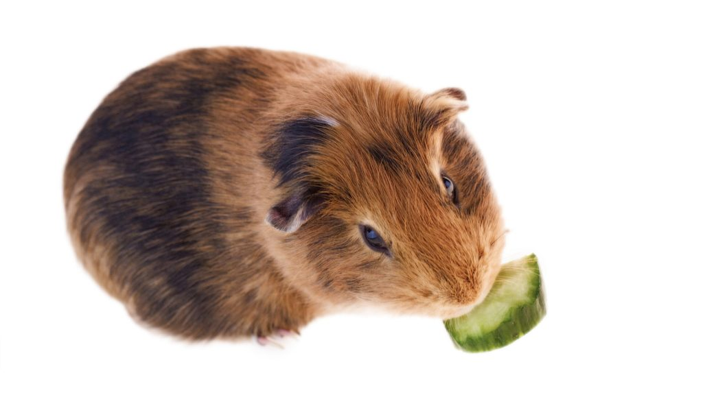 Is Zucchini Good for Guinea Pigs Health Benefits