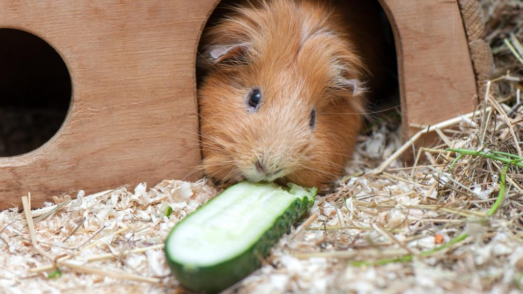 Risks to Consider When Feeding Cucumber to Guinea Pigs
