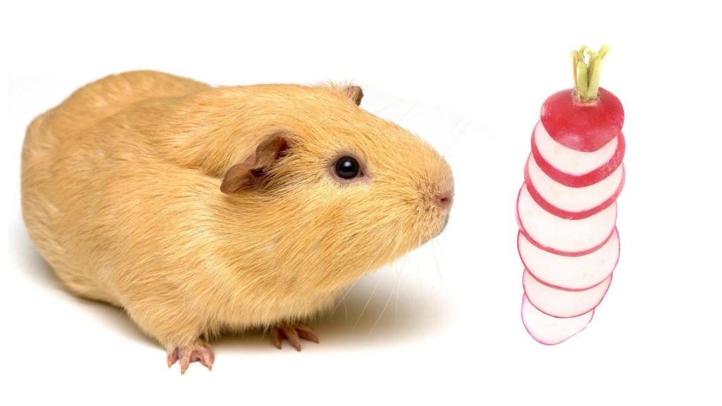 Serving Size and Frequency of Radishes for Guinea Pigs