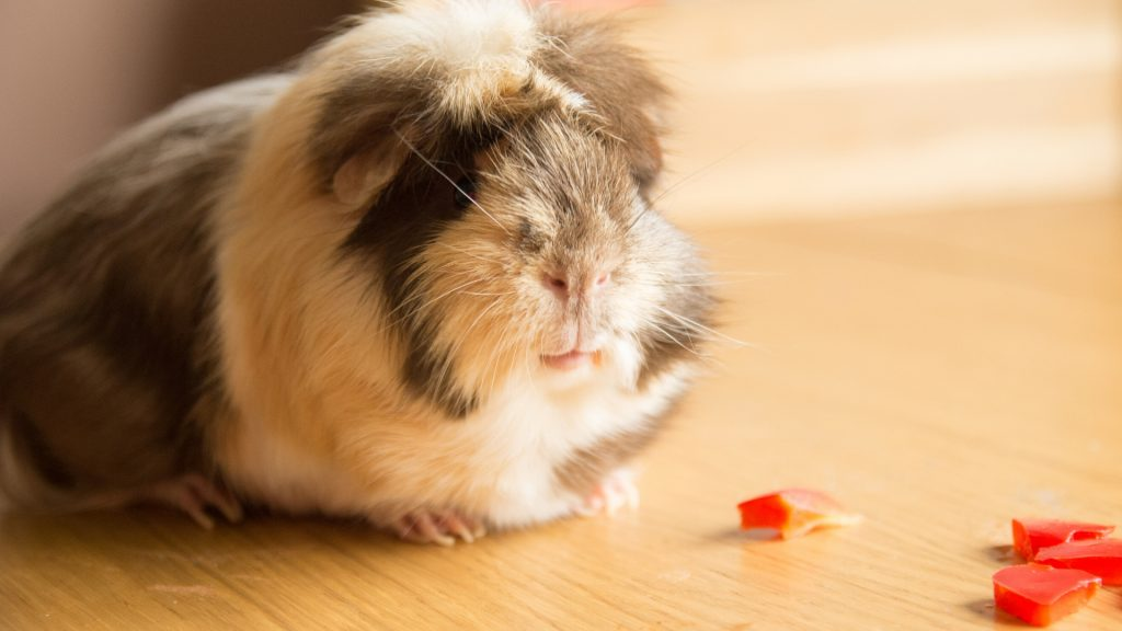 Serving Size and Frequency of Red Peppers for Guinea Pigs