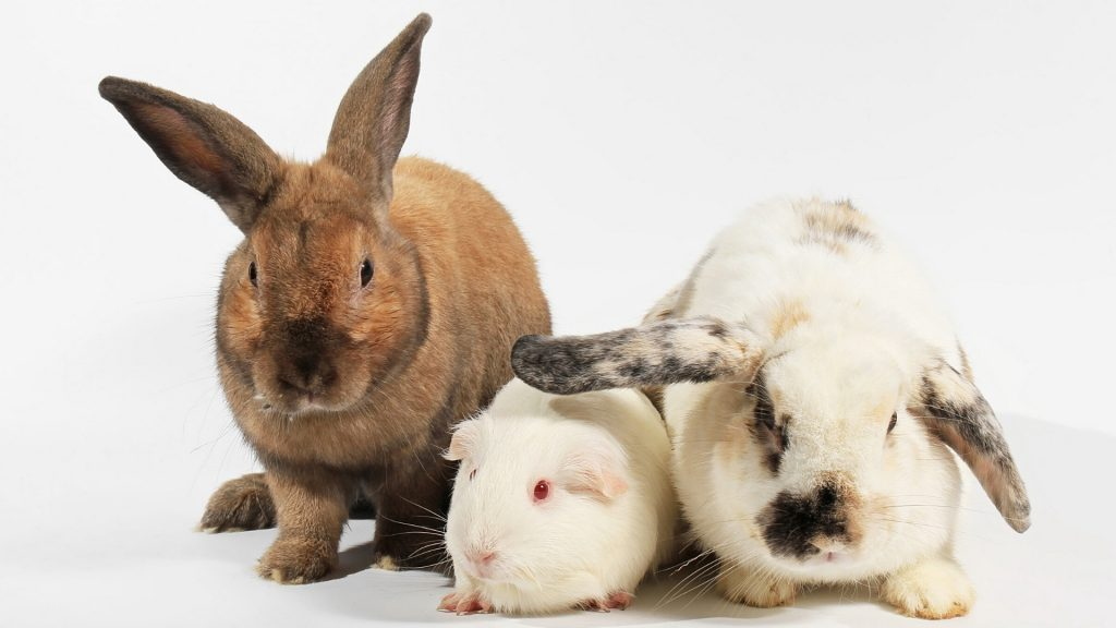 Situational Cases When Guinea Pigs and Rabbits Get Along