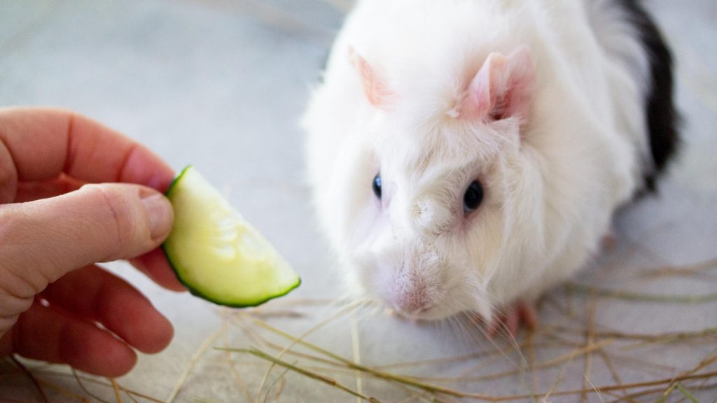 Tips on How Can You Feed Cucumber to Guinea Pigs