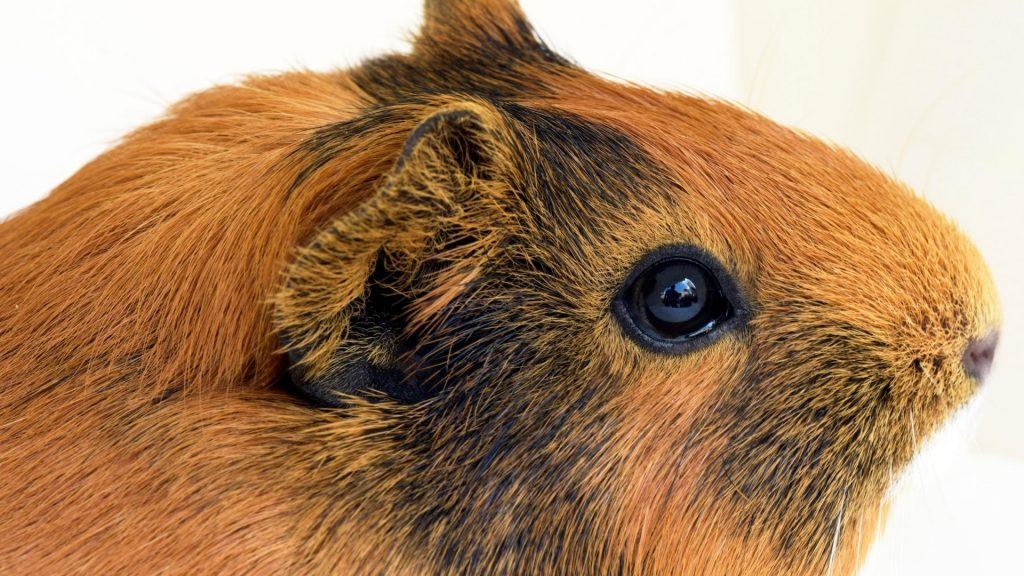 Why Doesn't My Guinea Pig Close Its Eyes