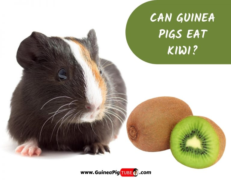 Can Guinea Pigs Eat Kiwi_