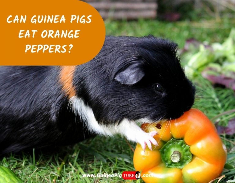 Can Guinea Pigs Eat Orange Peppers_