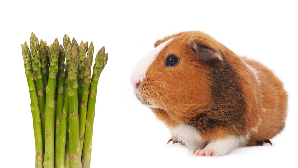 More Information About Guinea Pigs and Asparagus