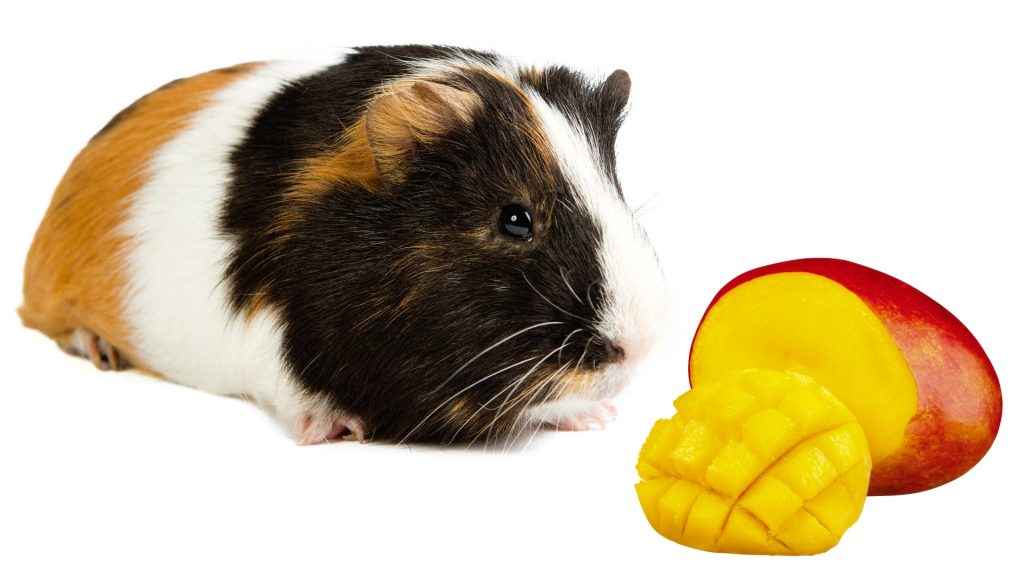 More Information About Guinea Pigs and Mango