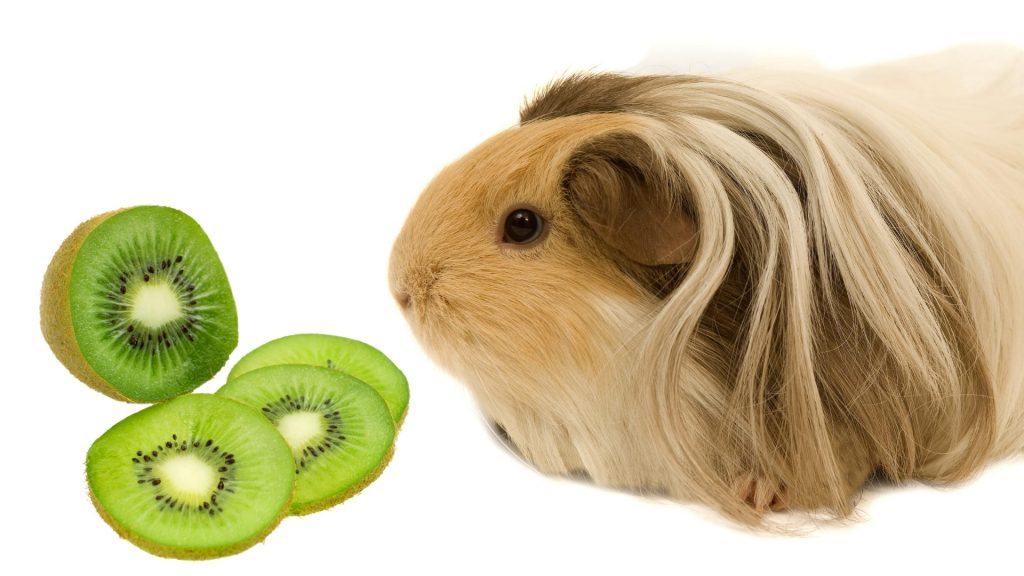 More Information About Kiwi and Guinea Pigs