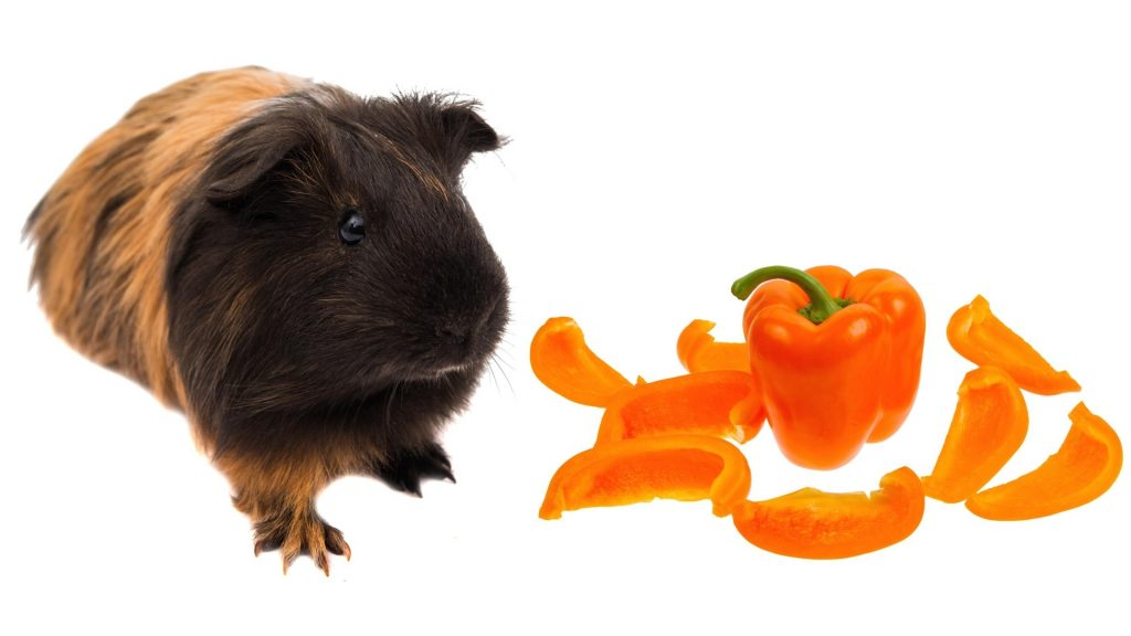 Serving Size and Frequency of Orange Bell Peppers for Guinea Pigs