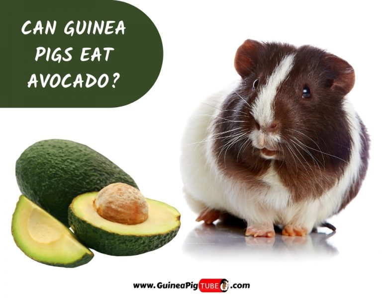 Can Guinea Pigs Eat Avocado