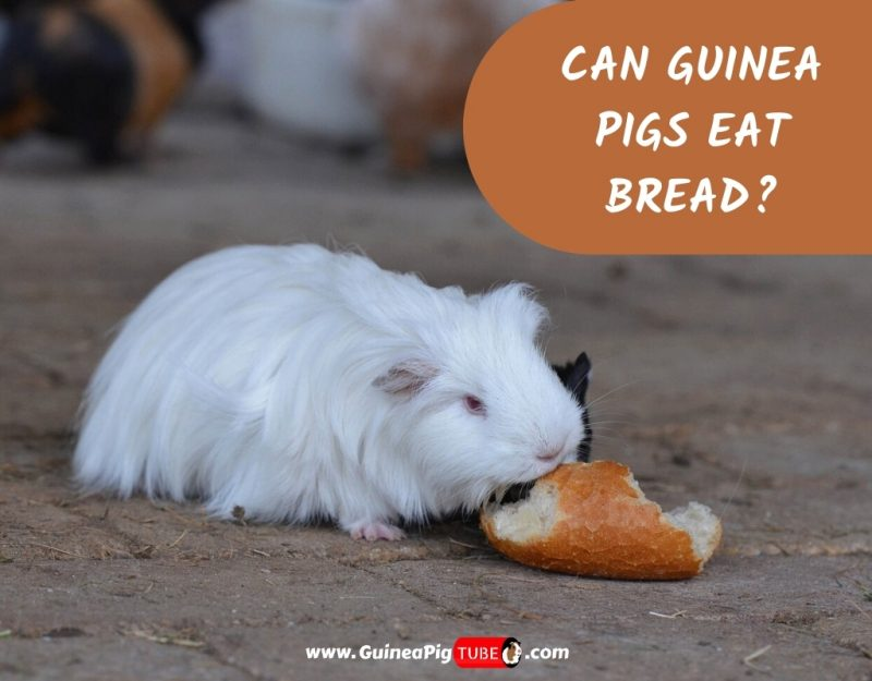 Can Guinea Pigs Eat Bread_