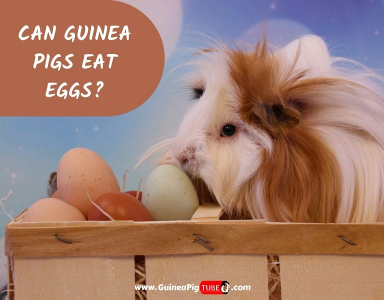 Can Guinea Pigs Eat Eggs_