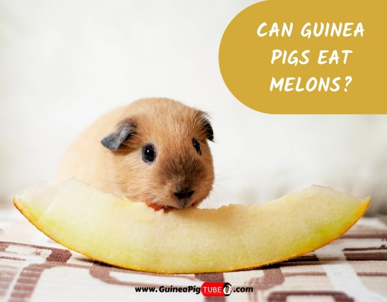 Can Guinea Pigs Eat Melons_