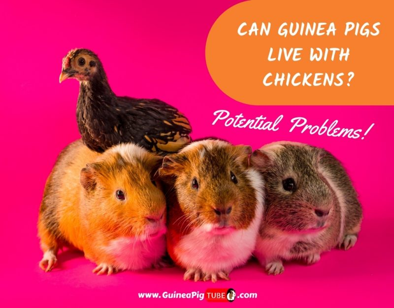 Can Guinea Pigs Live With Chickens_