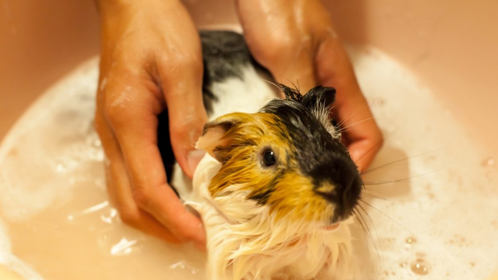 Forcing Guinea Pig to Swim Isnt a Good Idea