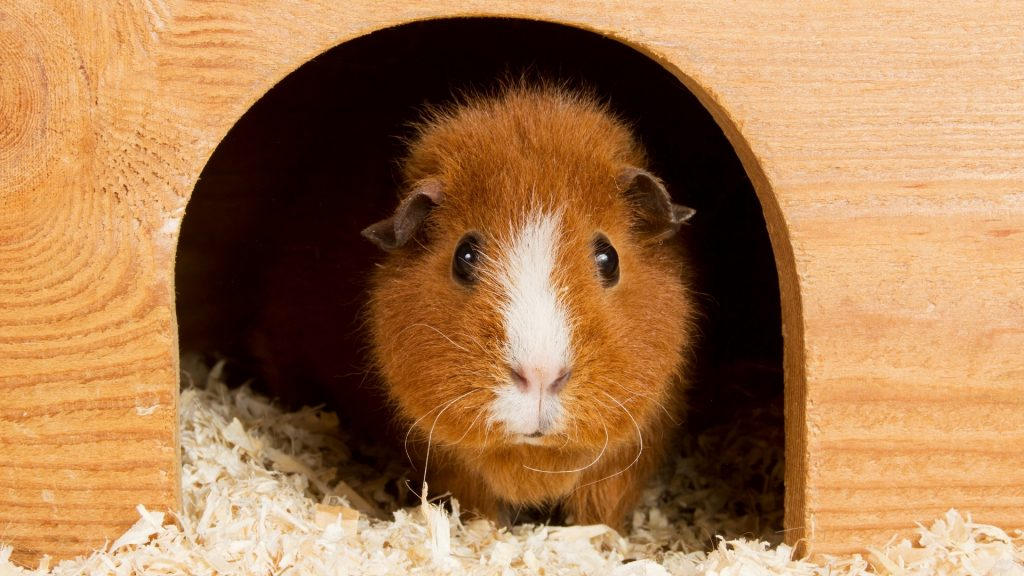 Little Guinea Pigs Don't Need a Lot of Space
