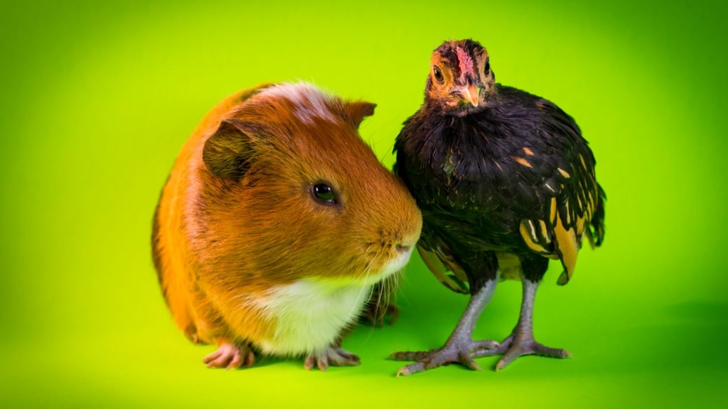 Reasons Why Guinea Pigs Could Potentially Live With Chickens