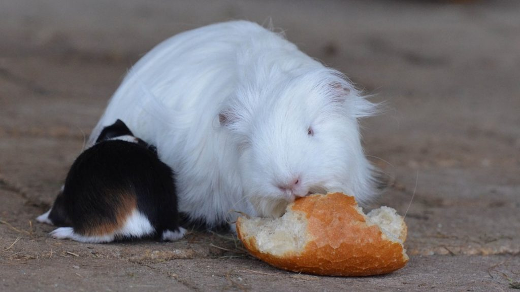 Risks to Consider When Feeding Bread to Guinea Pigs