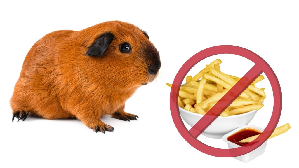 Risks to Consider When Feeding French Fries to Guinea Pigs