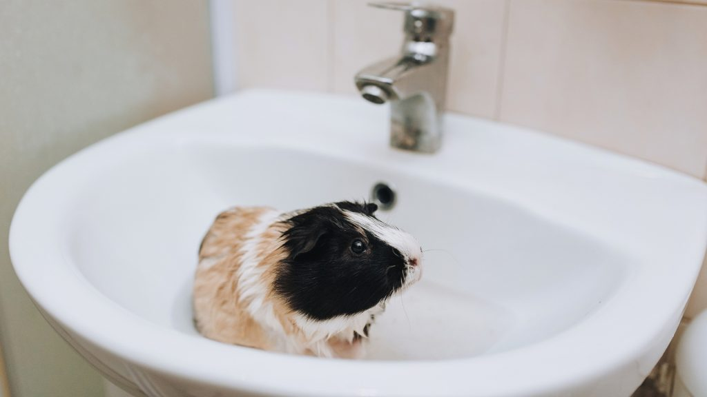 Slowly Lower Your Guinea Pig into the Container