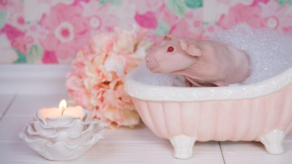 When to Bathe Your Pet Guinea Pig More Than Once a Month