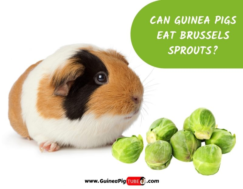 Can Guinea Pigs Eat Brussels Sprouts_