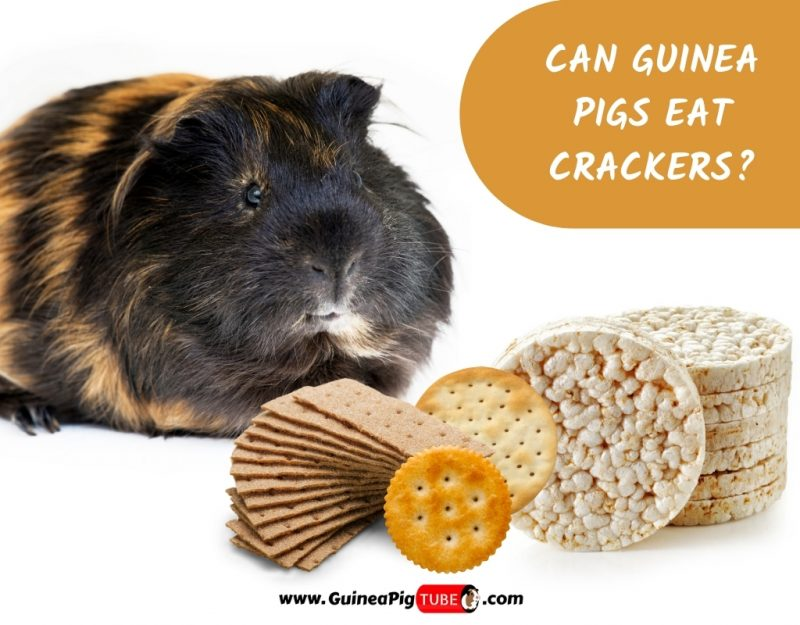 Can Guinea Pigs Eat Crackers_