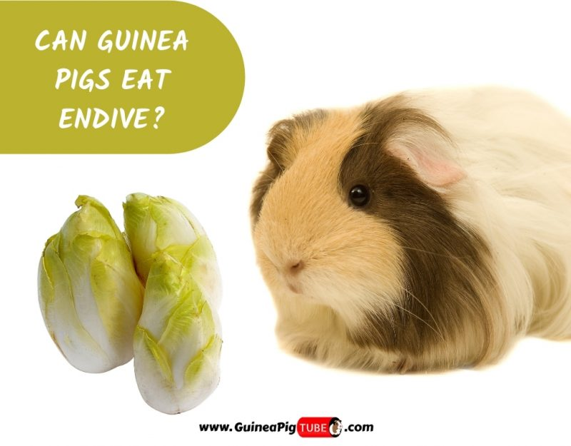 Can Guinea Pigs Eat Endive_