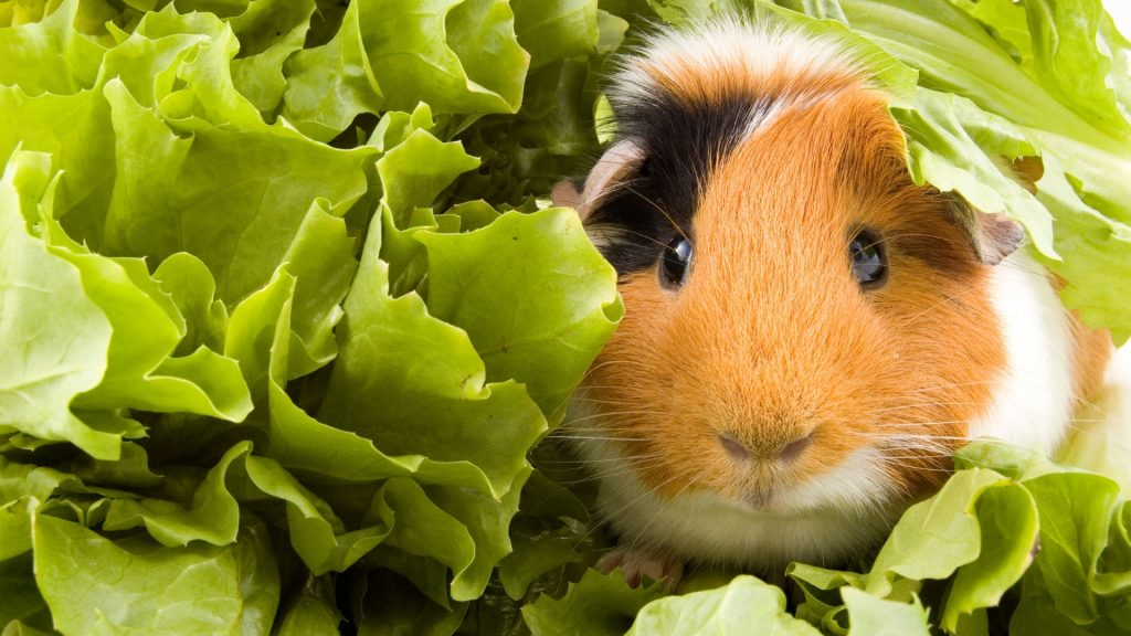 Can Guinea Pigs Eat Escarole Endive