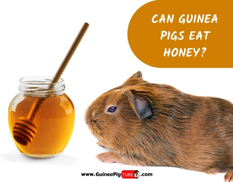 Can Guinea Pigs Eat Honey_2