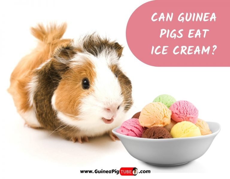 Can Guinea Pigs Eat Ice Cream_