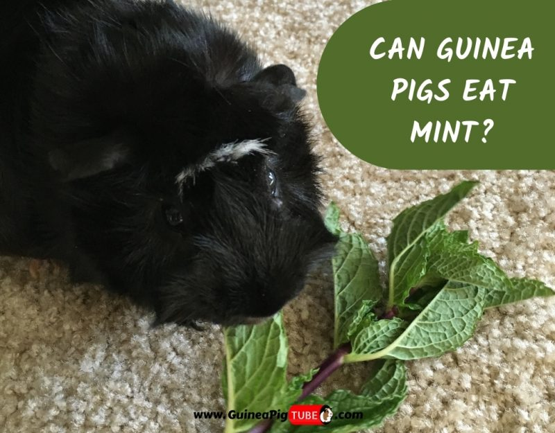 Can Guinea Pigs Eat Mint_