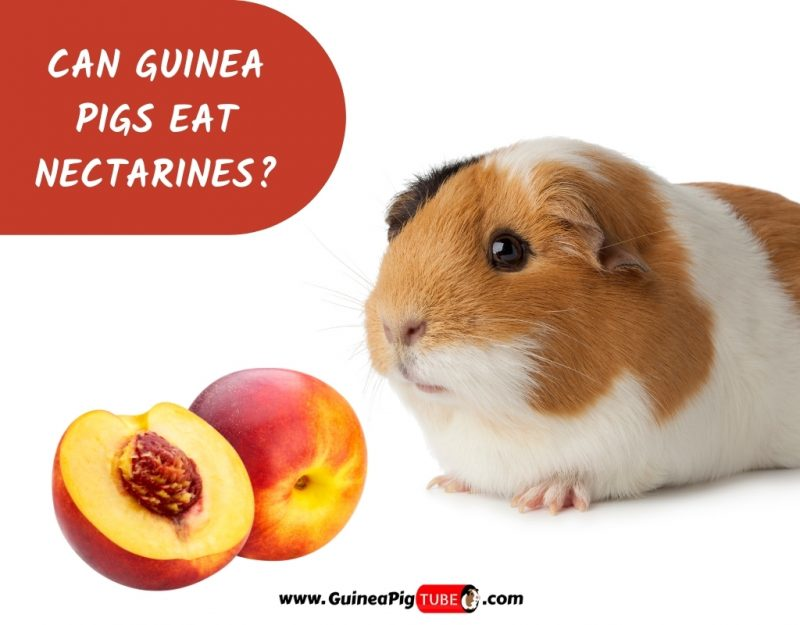 Can Guinea Pigs Eat Nectarines_