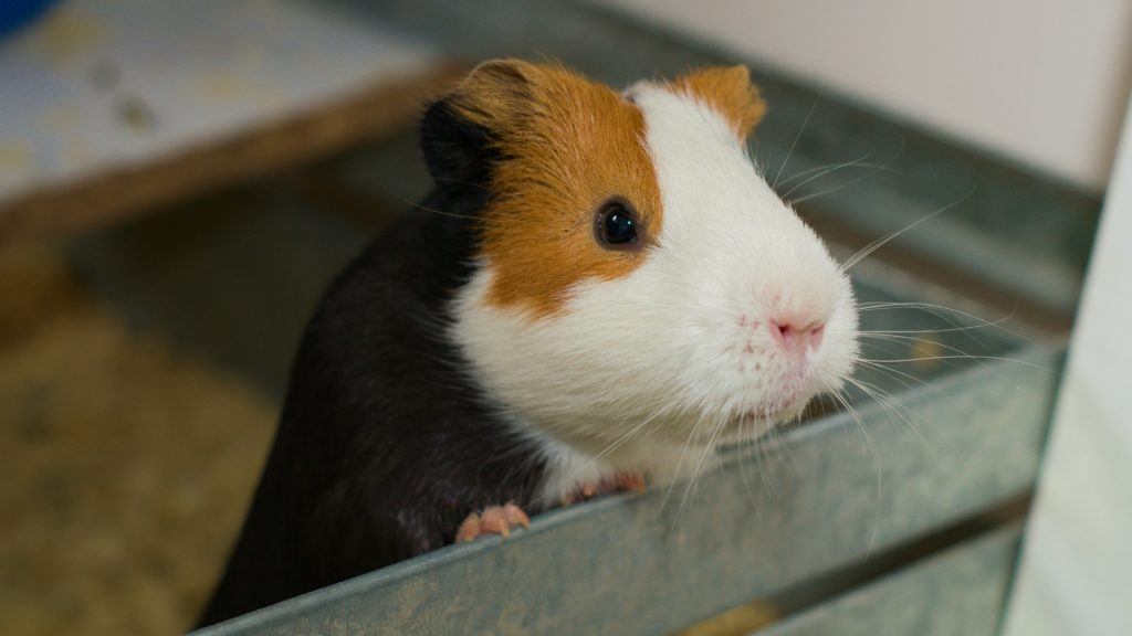Can Guinea Pigs Jump Out of the Cage