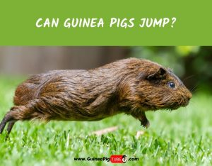 Can Guinea Pigs Jump_