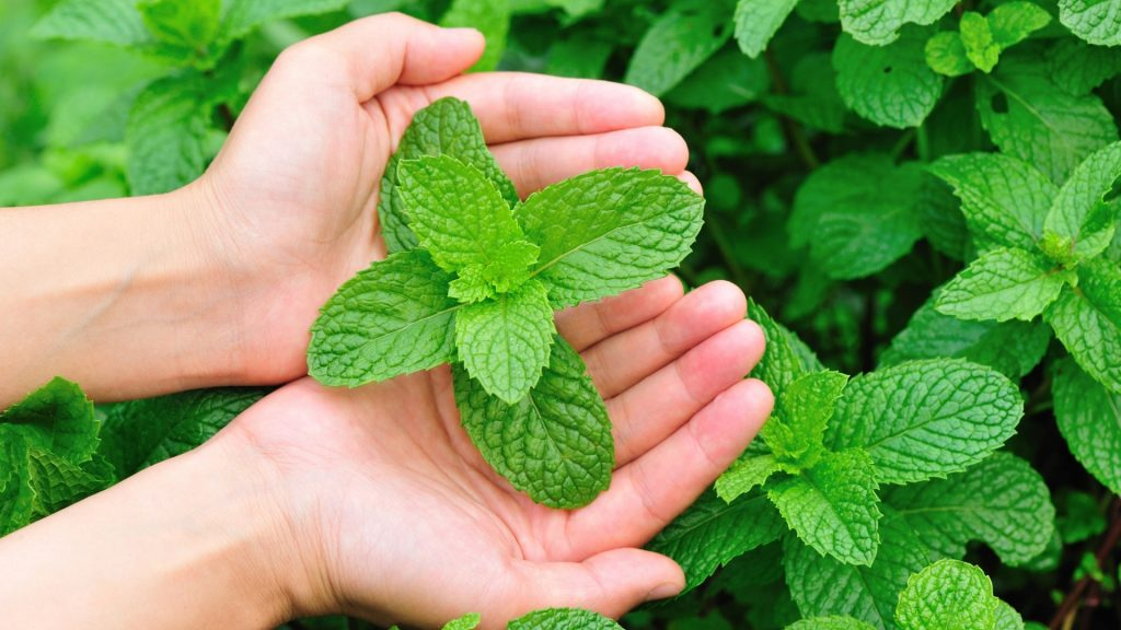 Is Mint Healthy for Guinea Pigs Health Benefits