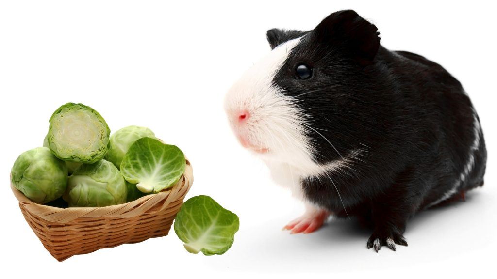 More Information About Brussels Sprouts and Guinea Pigs