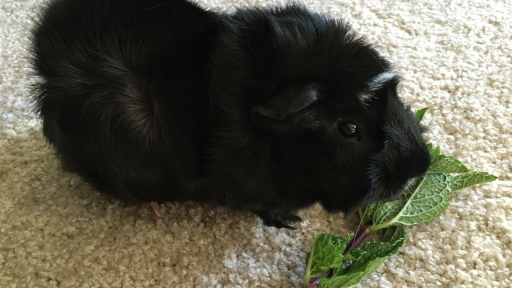 More Information About Guinea Pigs and Mint