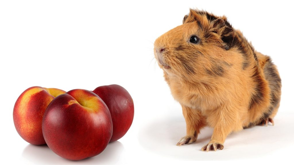 More Information About Guinea Pigs and Nectarines