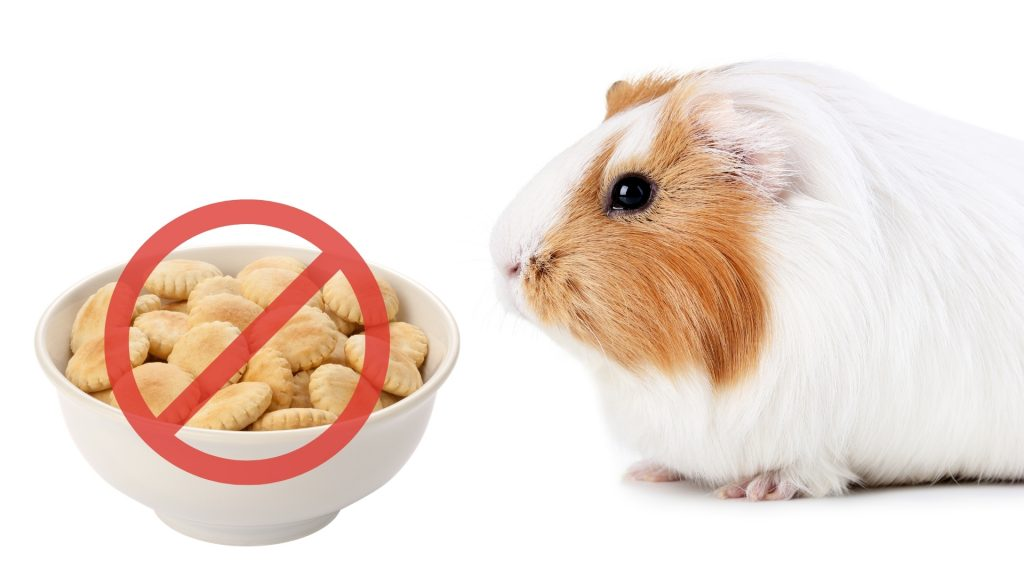 Risks to Consider When Feeding Crackers to Guinea Pigs