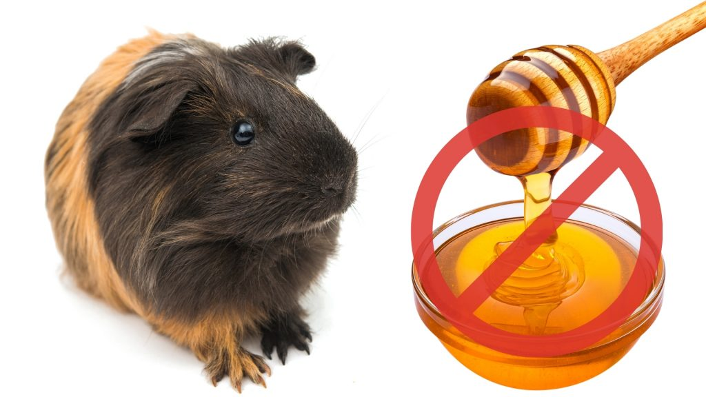 Risks to Consider When Feeding Honey to Guinea Pigs