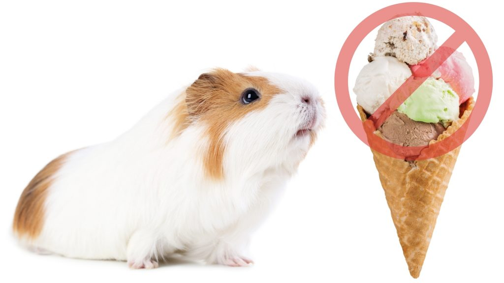 Risks to Consider When Feeding Ice Cream to Guinea Pigs