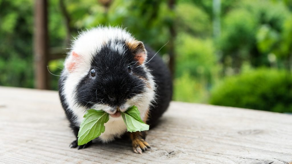 Risks to Consider When Feeding Mint to Guinea Pigs